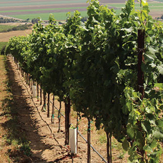 Grape Powdery Mildew Control in California Vineyards