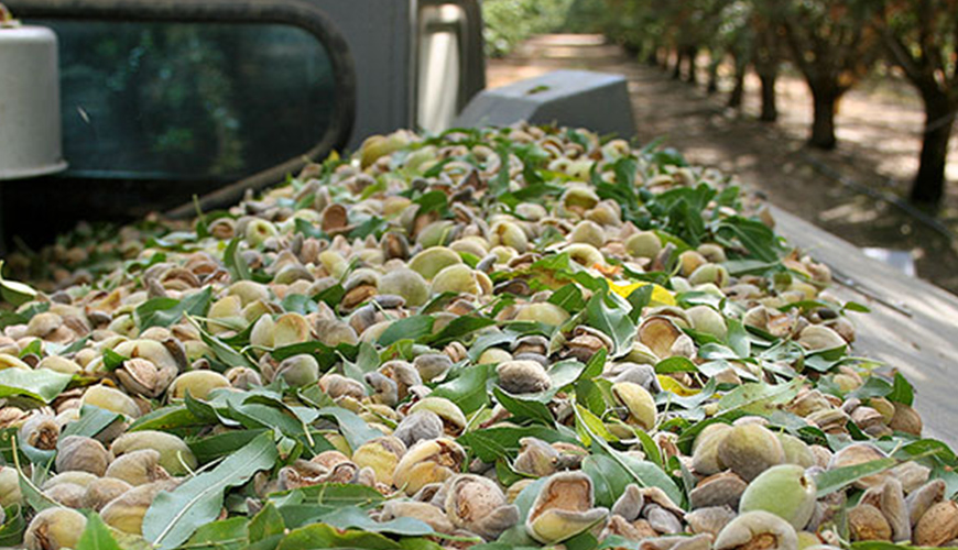 Ant and Broadleaf Weed Control at Almond Harvest