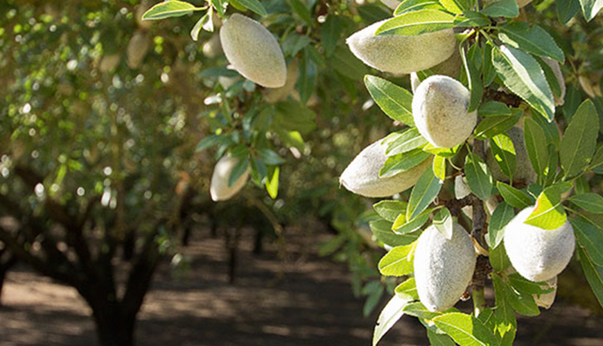 Disease Management for California Almond Production