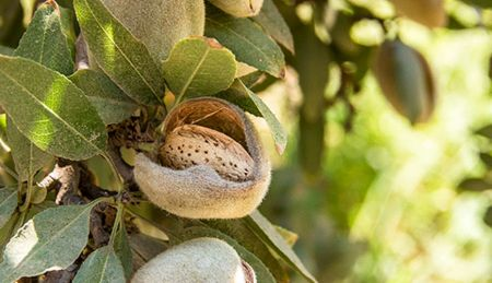 Managing Key Insects in California Almond Orchards/Principles of IPM